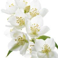 Hawaiian Jasmine